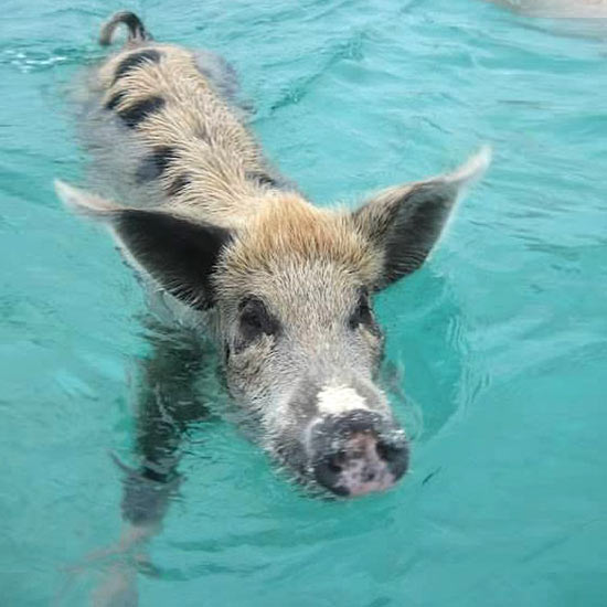 Visit the Swimming Pigs at No Name Cay